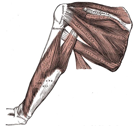 Arm muskeln von hinten - Muskeln gezielt trainieren - Kannst du unterschiedliche Anteile eines Muskels trainieren?