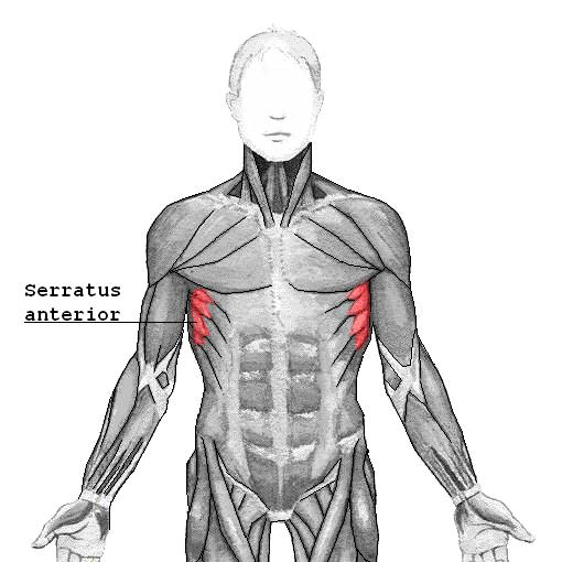 Vorderer Sägezahnmuskel (Serratus Anterior)