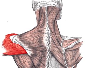 Deltoideus posterior 300x230 - Face Pulls für die hintere Schulter: die richtige Ausführung